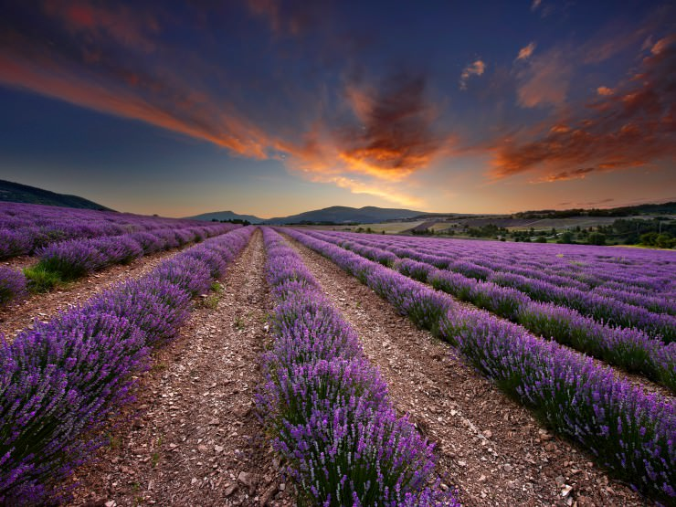 lavender fields france